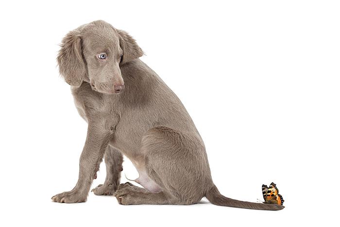Weimaraner puppy with butterfly